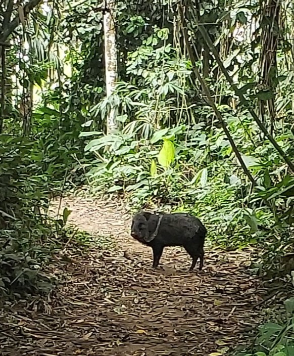 pig in the Amazon Jungle