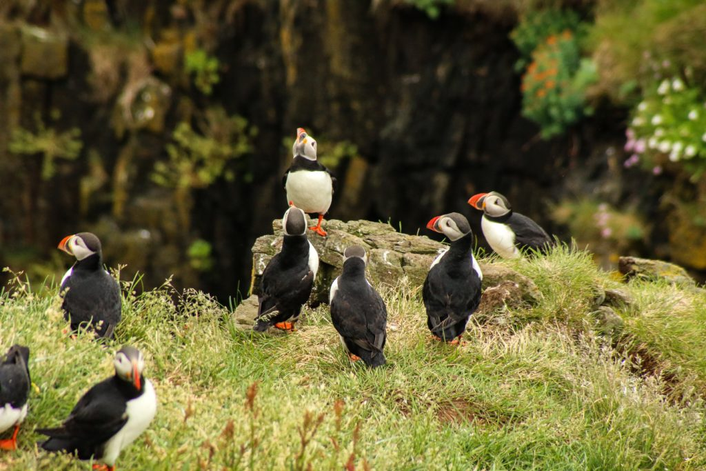 Puffins on the Iceland Arch