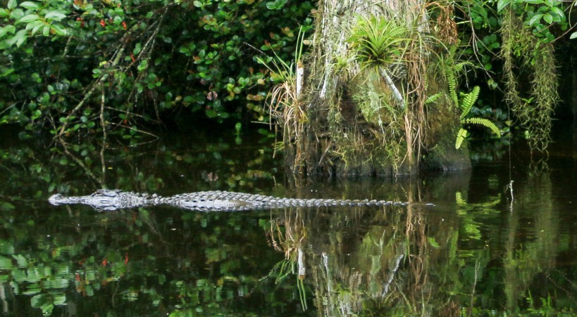 view of alligator in everglades during an empty-nest vacation