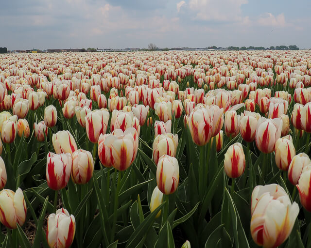 white tulips displayed at the best flower festival in the world in the netherlands