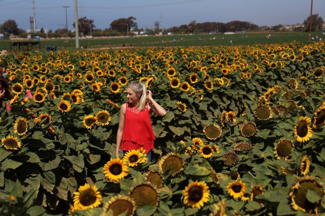 lady surrounded by sunflowers in the best flower field in the world in California USA