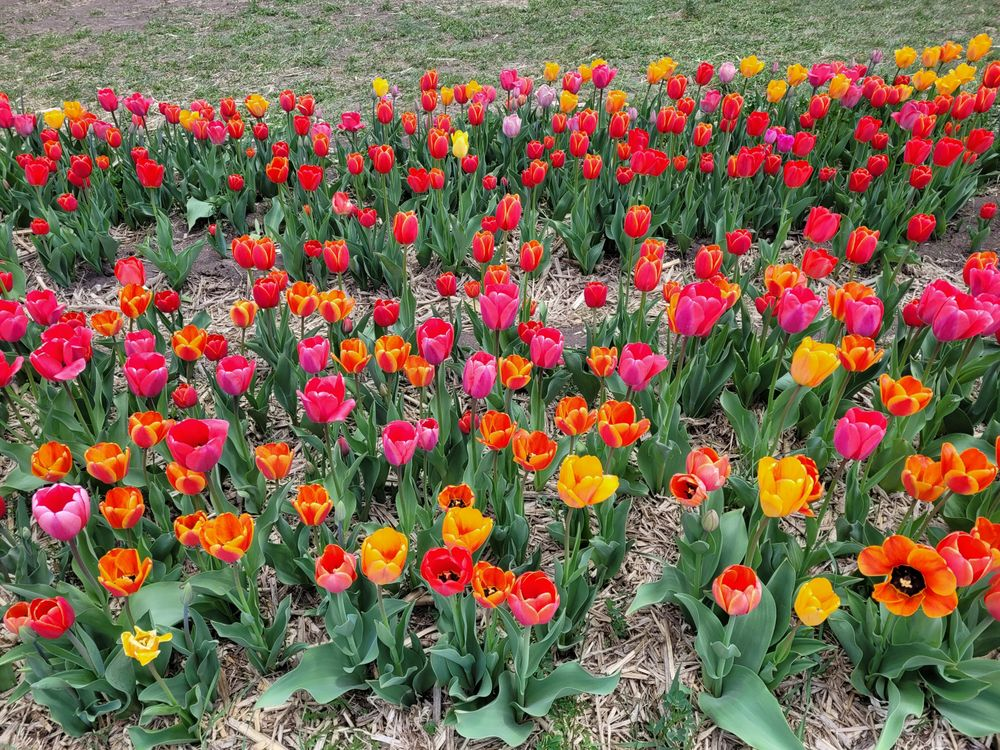 closeup on tulips at one of the most beautiful flower festivals in the world
