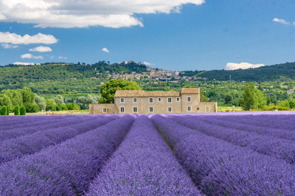rows of lavender in one of the top flower fields in the world in Provence