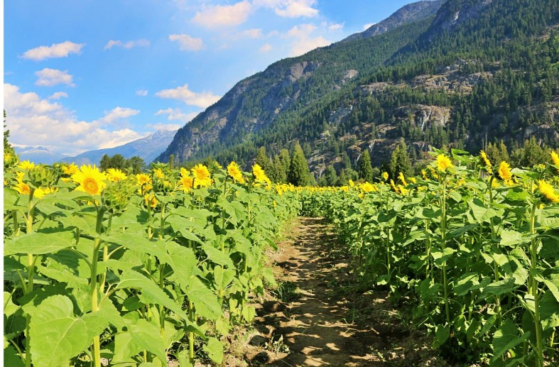 sunflowers in front of a mountain in the best sunflower field in the world in Pemberton