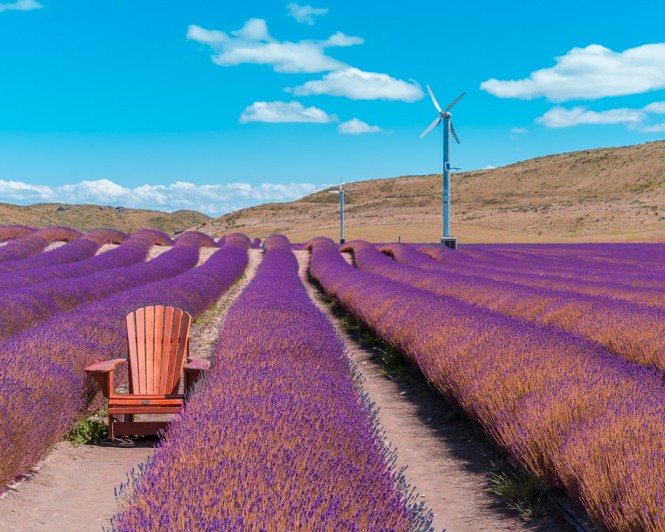 chair in the middle of lavender flower field with windmill