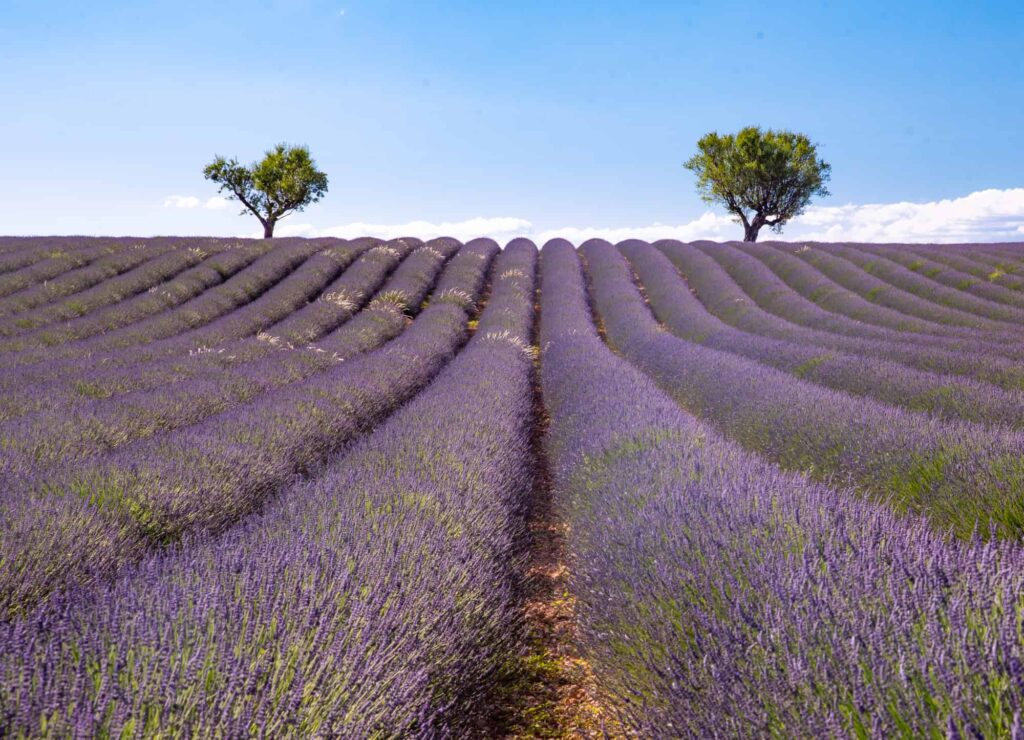 rows of lavender in one of the top flower fields around the world in Provence France